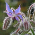 Borago officinalis L.,