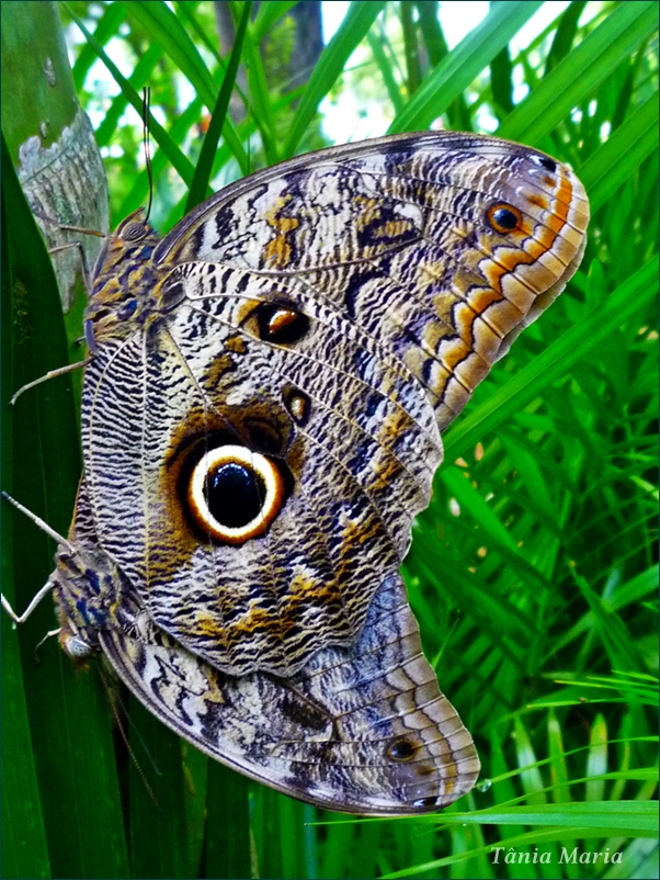 Borboleta Olho De Coruja Foto Bild Animales Brasil