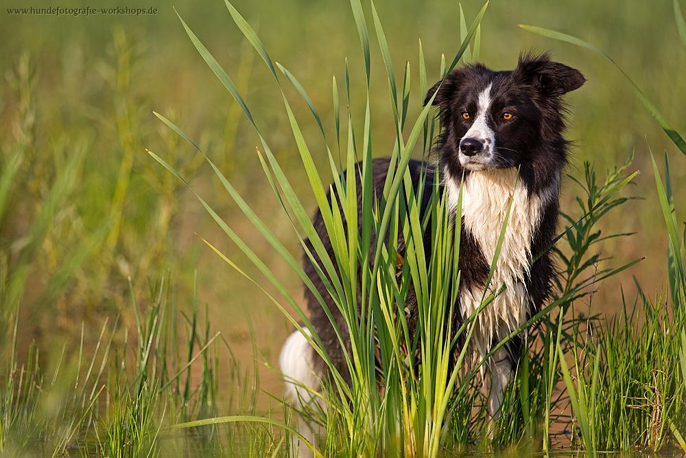 border collie foto  bild  tiere haustiere hunde bilder