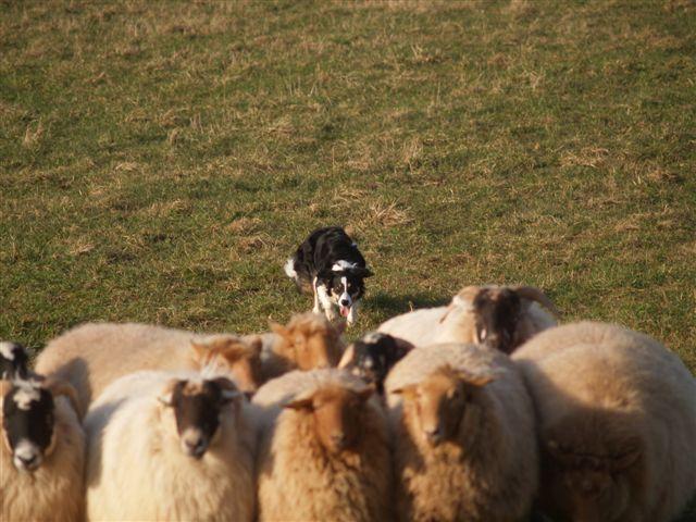 Border Collie an den Schafen