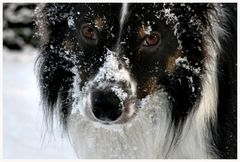 Border Collie  ....