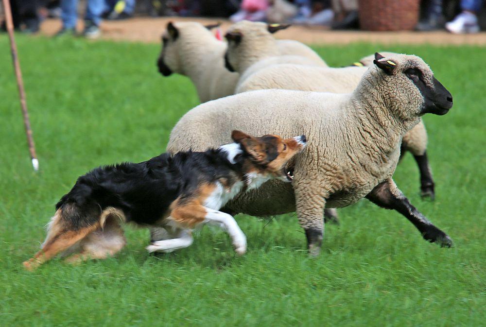 border collie bei der arbeit foto  bild  hunde hund