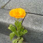 Bordsteinblüte
