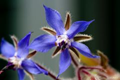 Boretsch Blüte