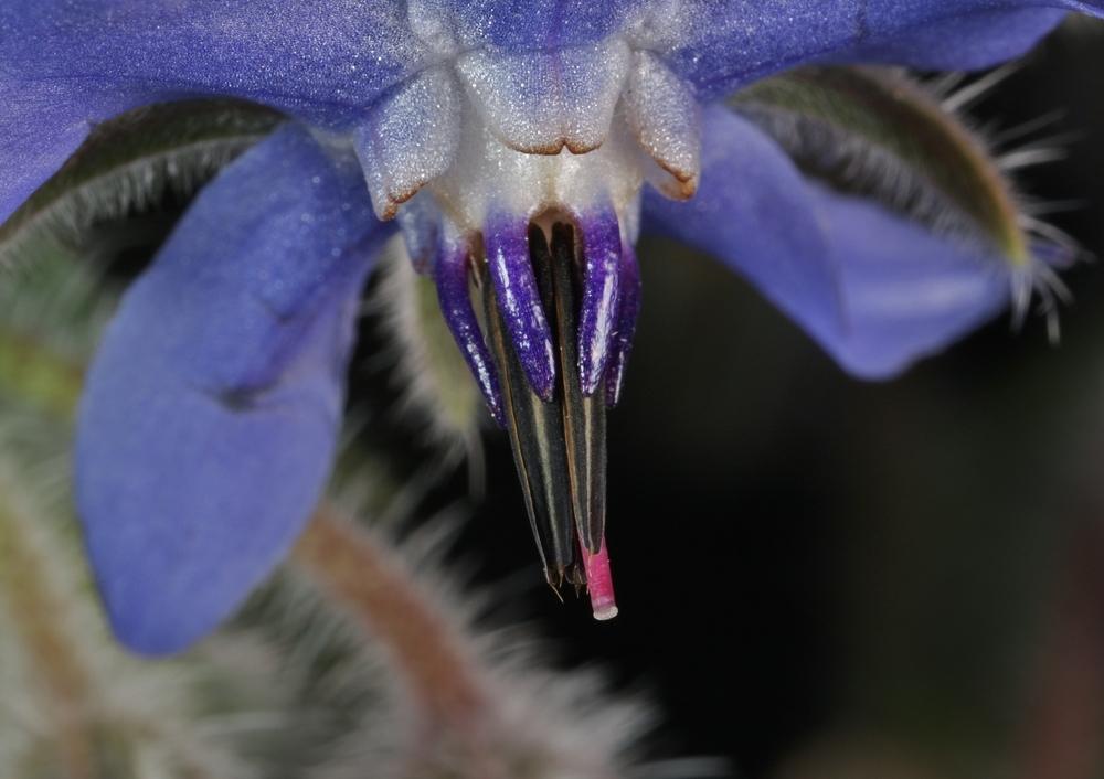 Boretsch. Borago officinalis, Blüte, Detail