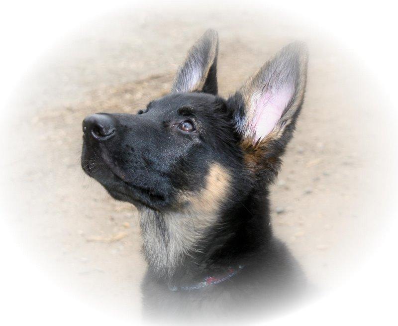 Boris the German Shepherd