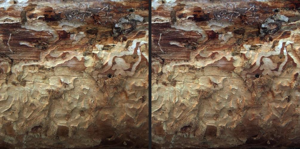 Borkenkäfer-Spuren - Bark Beetle Tracks