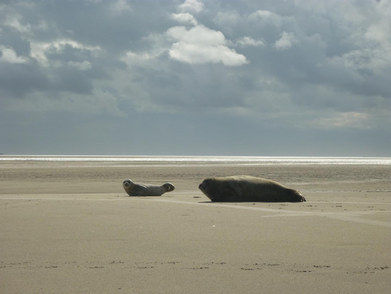 Borkumer Seehunde