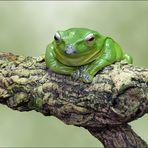 Borneo-Flugfrosch - Wallace-Flugfrosch