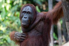 Borneo Orang Utan in Freiheit