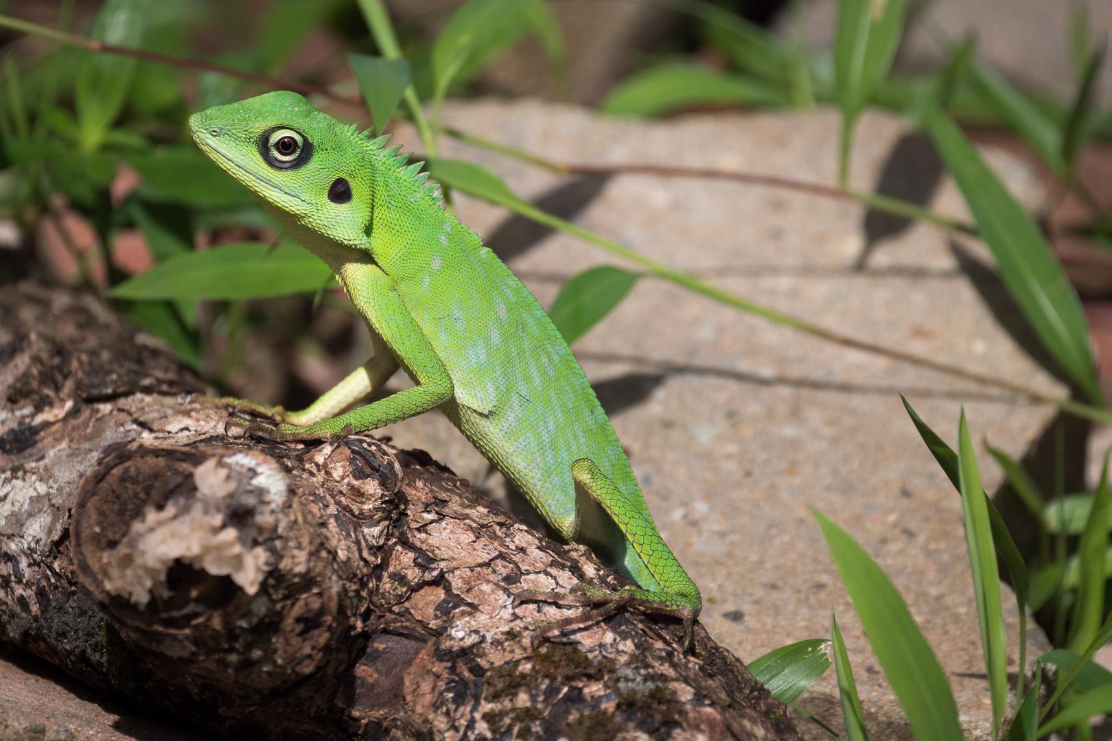 Borneo Schönechse