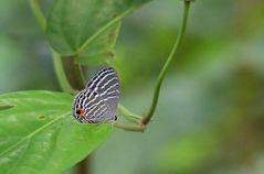Borneo-Zipfelfalter