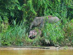 Borneo-Zwergelefanten