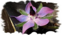 Borretchblüte