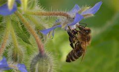 Borretsch und Biene