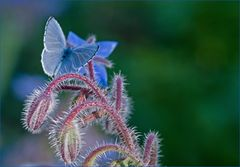 Borretschblau