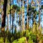 Bosque de eucaliptos.
