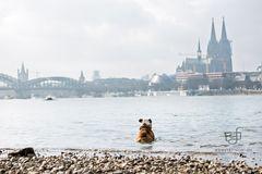 Boss genießt die Skyline von Köln
