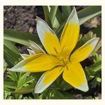 Botanische Tulpe mal naturbelassen.