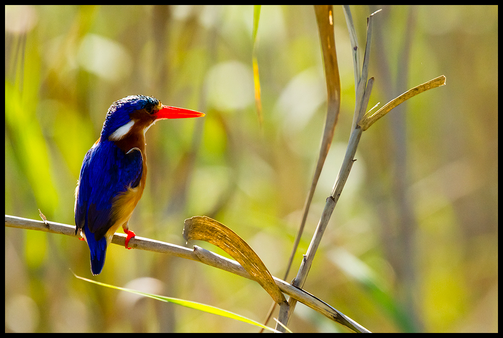 Botswana - Kingfisher