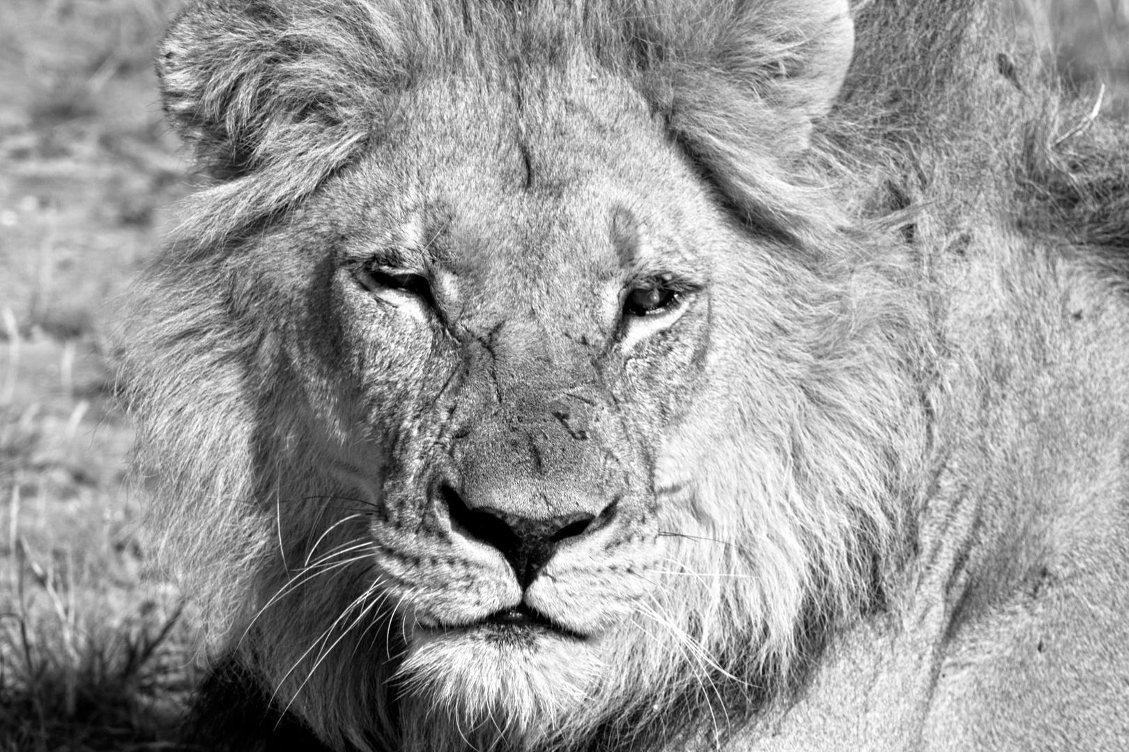 Botswana - Löwen (10)