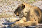 Botswana - Löwen (7)