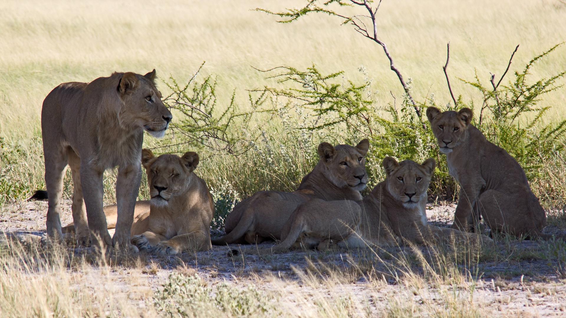Botswana - Löwen (8)