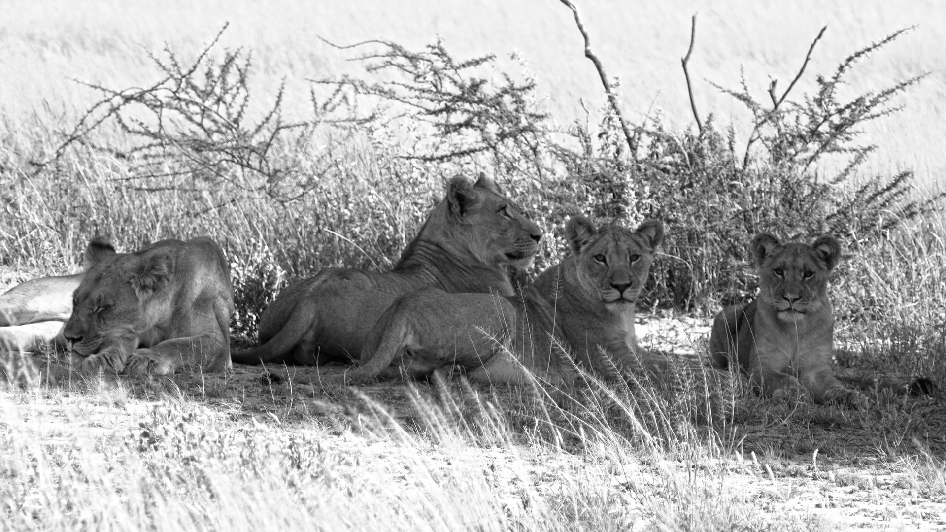 Botswana - Löwen (9)