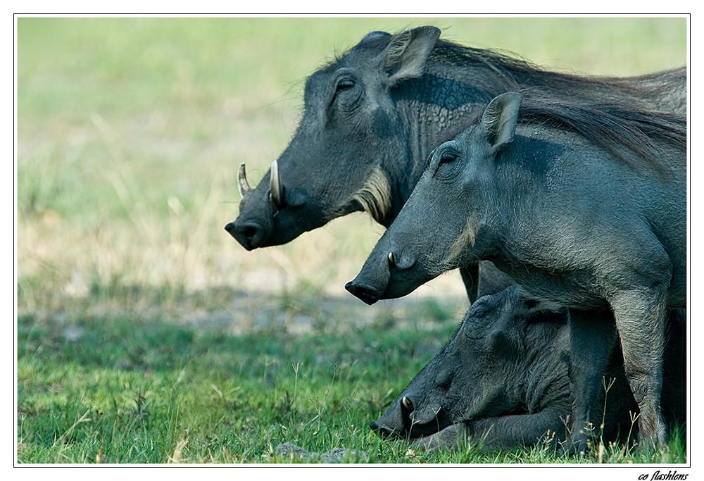 Botswanas Warthogs