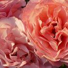 Botticelli- Rose mit Morgentau