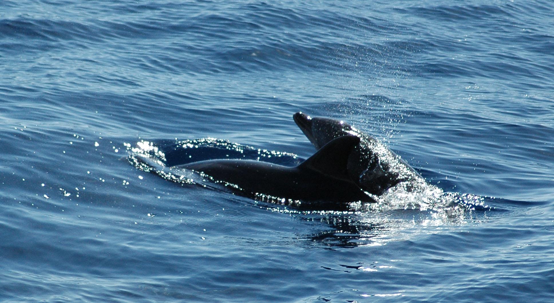 Bottle nose delphin zwischen Tenerife und La Gomera