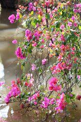 Bougainvillea Blüten-Dekor