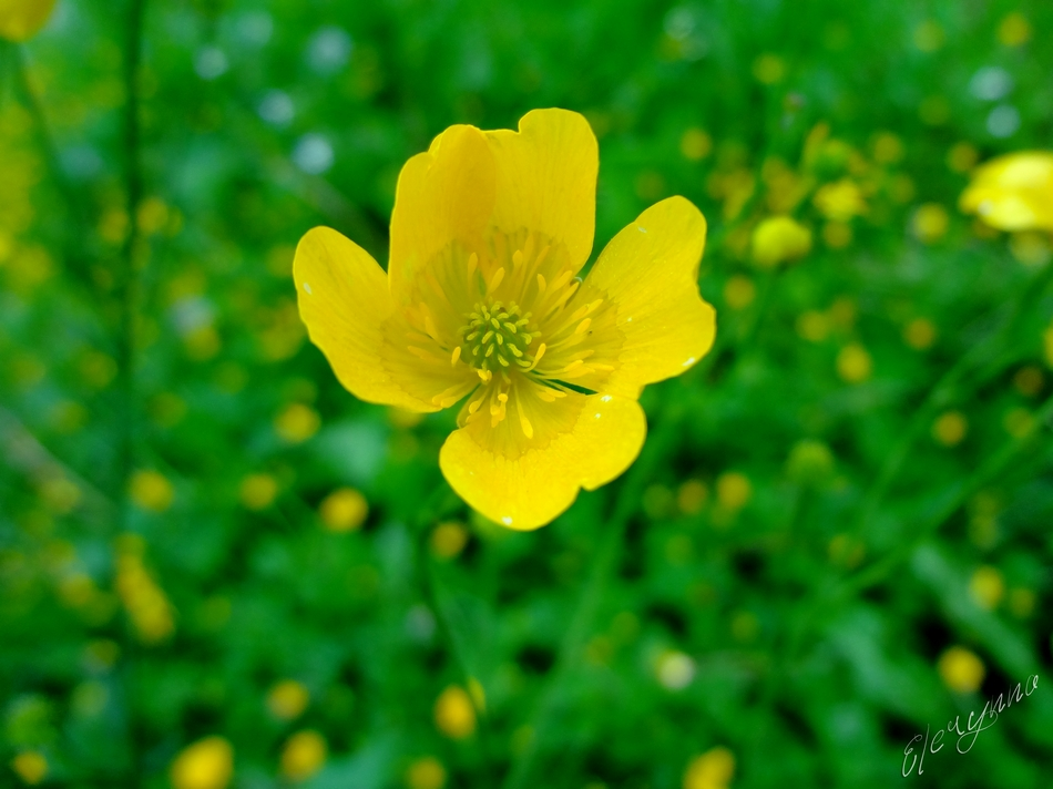 Bouton d'or photo et image | fleurs, bouton d'or fleur jaune, nature Images fotocommunity
