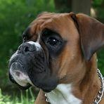 Boxer-Vielfalt II