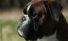 Boxer-Vielfalt IX: Sunny Boy ...
