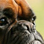 Boxer-Vielfalt VI: Herrchen immer im Blick ...