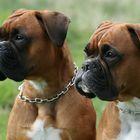 Boxer-Vielfalt VIII: Ähnlichkeit