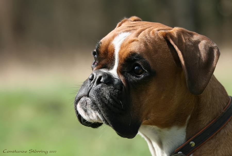 Boxer-Vielfalt XII: Augen ...