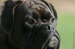 Boxer-Vielfalt XVI: Auch wenn ...