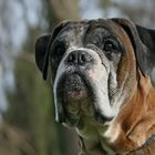 Boxer-Vielfalt XVII: Souverän ...