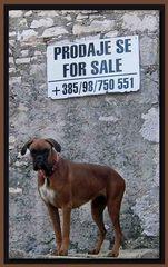 Boxer - weiblich - zu verkaufen