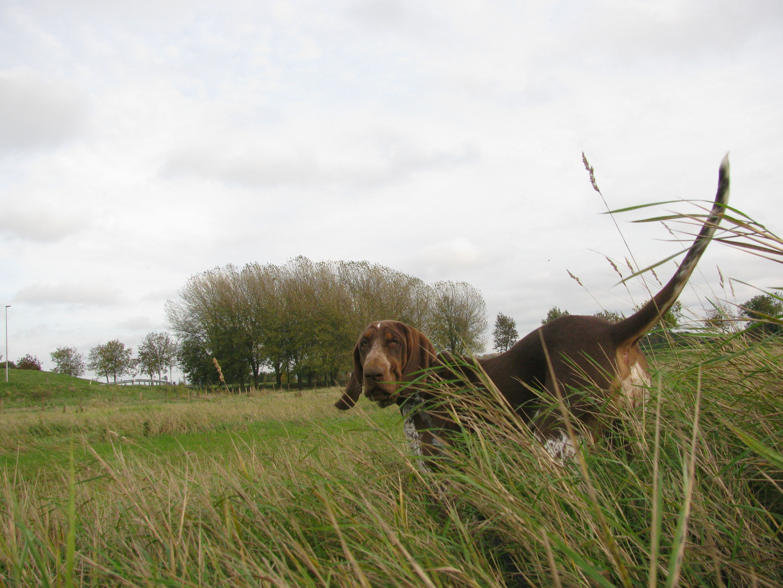 Bracco bei der Jagd
