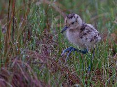 Brachvogel-Küken (Curlew)