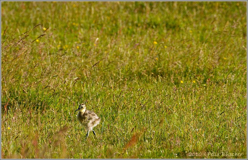 Brachvogelküken erkundet die saftige Moorwiese
