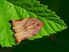 Bräunlicher Obstbaumwickler  (Archips podana) - Tordeuse de l'osier.