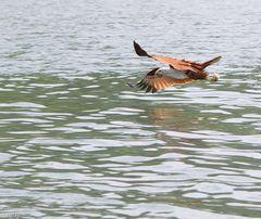 Brahminy Kite Eagle