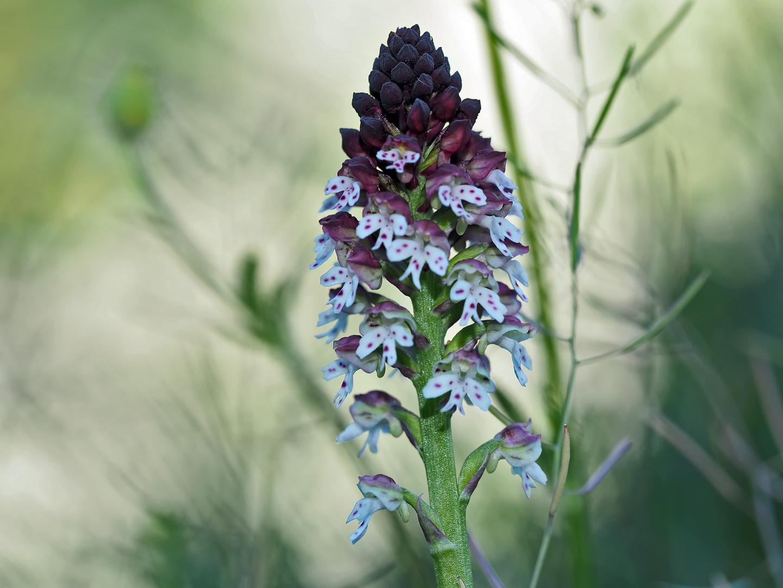 Brand-Knabenkraut (Orchis ustulata) - Orchis brûlé.