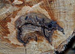 Brand-Krustenpilz (Kretzschmaria deusta)...  - Voyez vous l'animal que mêre Nature a dessiné?