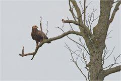 Brandenburgs seltenster Adler