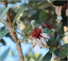 Brasilianische Guave
